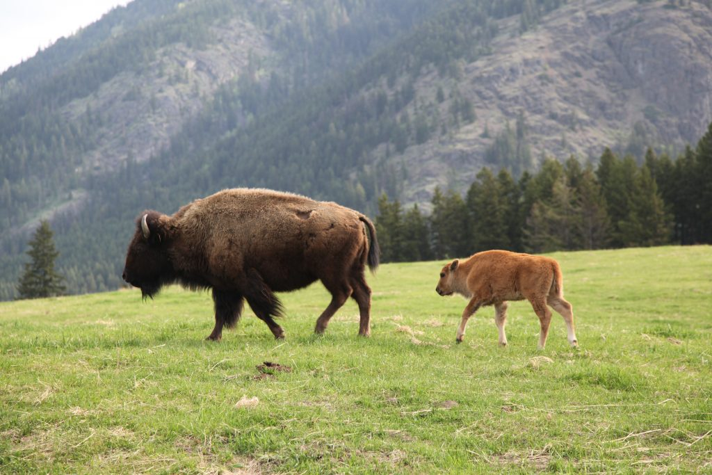 Turtle Valley Bison Ranch