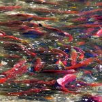 The Adams River Salmon Run and Salute to the Sockeye Celebration