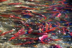 The Adams River Salmon Run and Salute to the Sockeye Celebration